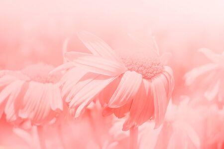 pink daisy: Pink daisy background