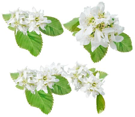 bough: Flowers of juneberry. Bough of juneberry isolated Stock Photo