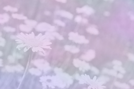 chamomiles: Chamomiles background in pastel shades Stock Photo