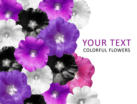 mallow: Colorful flowers in a row isolated on white background. Mallow.