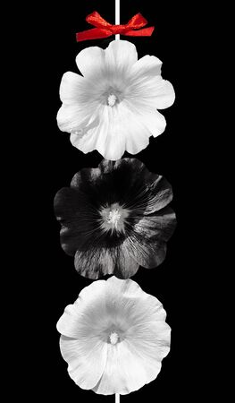 Black And White Flowers On Black Background Mallow Stock Photo