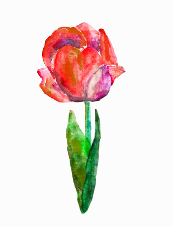 Watercolor spring red tulip isolated on white background