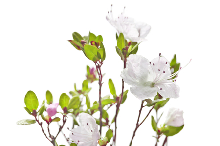 Rhododendron white pink flowers isolated on white background.purple rhododendron is blooming. Heather family. Ledum shrub