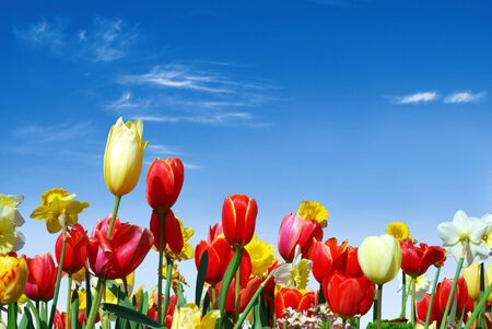 spring flowers: Spring flowers, e.g. tulips and daffodils in the blue sky background
