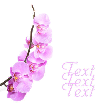 purple orchid: Pink orchid flowers on white Stock Photo