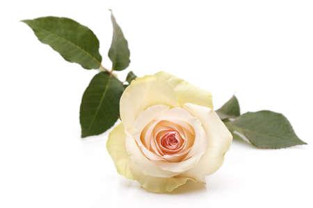 rosas amarillas: Rosa sobre fondo blanco Foto de archivo