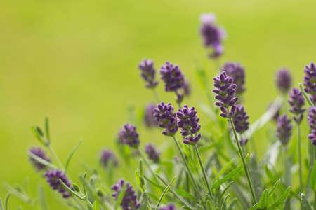 Lavender (Lavandula angustifolia) Felice photo