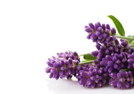 lavender bunch on a white background photo