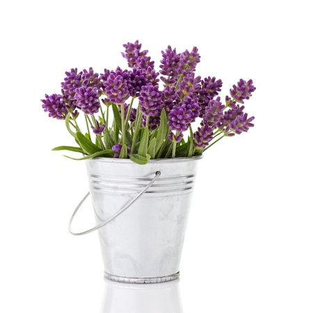 lavender in a metal bucket isolated on white photo