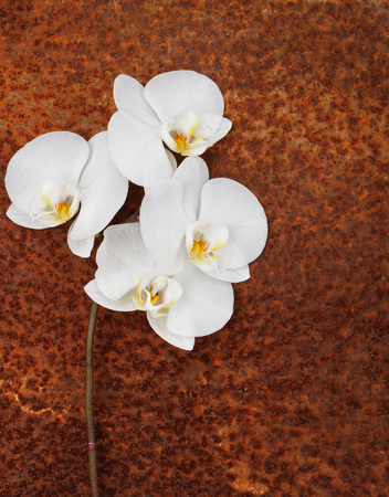 white orchid, phalaenopsis branch on a rusty surface