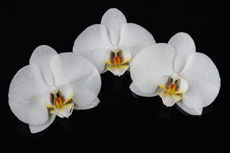 white orchid, phalaenopsis flowers on black background