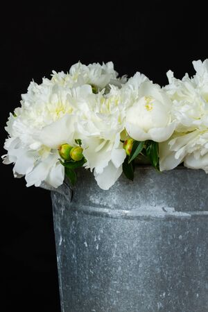 white peonies in a metal bucket on black background Фото со стока