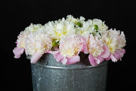 the bunch of pink and white peonies in a metal bucket on black