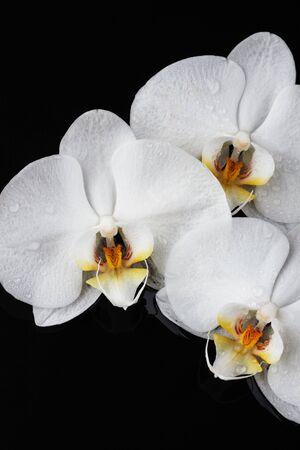 three white orchid, phalaenopsis flowers on black background