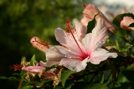 Beautiful flower pink Hibiscus with  buds and leaves Stock Photo - 920454