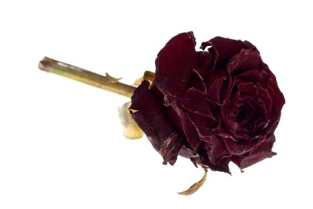 forgotten: Dead dried forgotten purple rose flower isolated on white