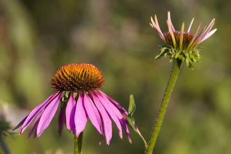 Purple coneflower, Echinacea purpurea two flowers in two different ages photo