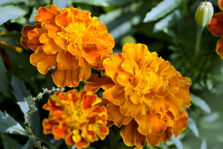 tagetes: Group of three orange marigold (Tagetes erecta)