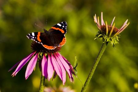 echinacea purpurea: Farfalla scuro alimentazione su Purple coneflower, Echinacea purpurea  Archivio Fotografico