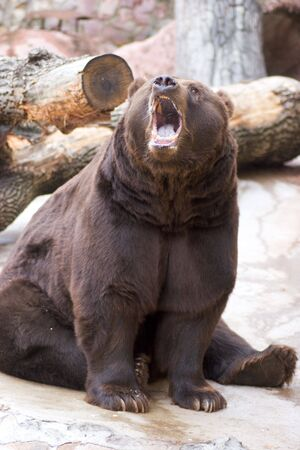 Roaring bear sitting in cold weather outdoors