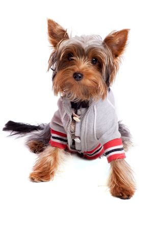 yorkshire terrier sitting on floor wearing jacket isolated on white  photo