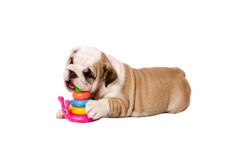 spotted dog: 2 month playing puppy english bulldog isolated on white Stock Photo