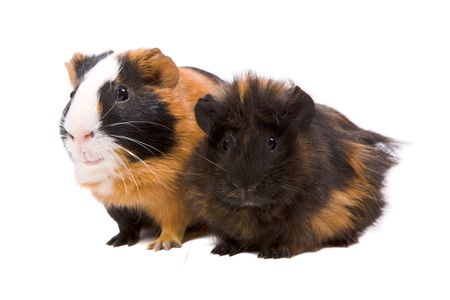 emulation: Two guinea pigs pets standing together isolated on white Stock Photo