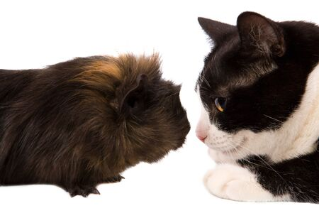 cavy and cat looking at each other isolated on white Stock Photo - 5102392