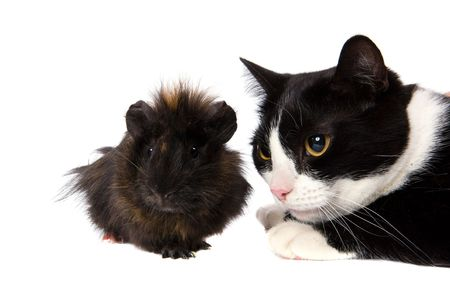 cavy and cat looking away isolated on white photo