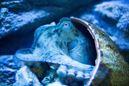 octopus in shell hiding on bottom of sea photo