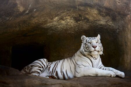 liar: White Tiger proudly observing from liar Stock Photo