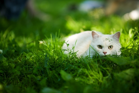 domestic scenes: White Cat hunting hiding in grass outdoors