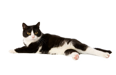 domestic cat lying down isolated on white photo