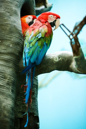 the two parrots: Two parrots called macaw sitting on branch outdoors Stock Photo