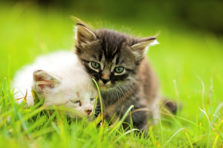 Two kittens sitting in grass close together photo