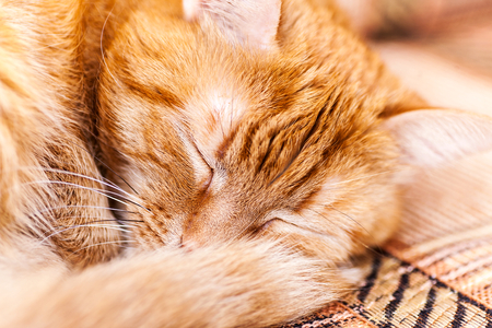 close up portrait of an old red sleeping cat