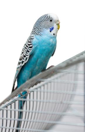 undulatus: blue budgerigar sitting on cage isolated on white background Stock Photo