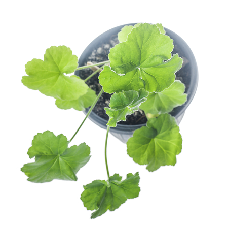 Young plant Pelargonium growing in flowerpot isolated on white Imagens