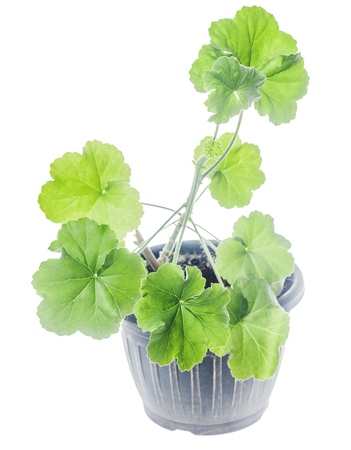 Young plant Pelargonium growing in flowerpot isolated on white Stock Photo