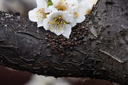 ants on a tree. fruit tree flowers. pollen. close-up Stock Photo