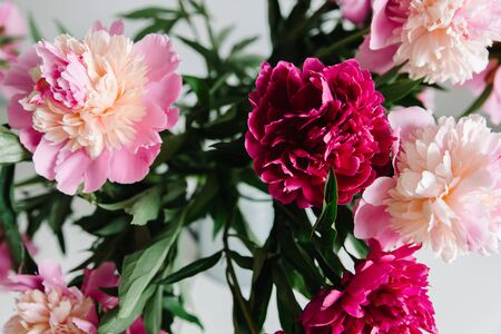 pink persian buttercup flowers. Curly peony ranunculus