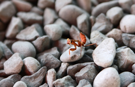 The little brown mantis crawls over small stones Stock Photo