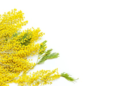 Yellow Mimosa flowers on white background top view flat lay copy space. Spring gentle composition, concept of spring season, symbol of 8 March, happy women's day. Flower background, Easter decoration Zdjęcie Seryjne