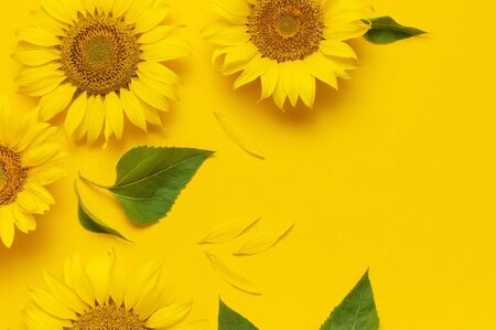 Beautiful fresh sunflower on bright yellow background. Flat lay, top view, copy space. Autumn or summer Concept, harvest time, agriculture. Sunflower natural background. Flower card.