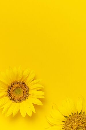 Beautiful fresh sunflowers on bright yellow background. Flat lay, top view, copy space. Autumn or summer Concept, harvest time, agriculture. Sunflower natural background. Flower card.