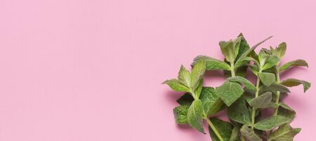 Fresh green leaves of mint, lemon balm, peppermint on pink background flat lay top view copy space. Ecology natural layout. Mint leaf texture. Mint leaves pattern spearmint herbs nature background.
