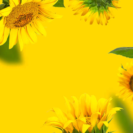 Creative background with flying yellow sunflowers, green leaves Flat lay. Frame from beautiful sunflowers floral card. Template for design. Harvest time agriculture farming Sunflower yellow background