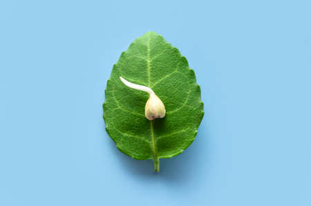 Sprouted grain of green buckwheat with green leaves on blue background macro shooting. Flat lay top view. Healthy vegan food, eco products, diet, organic. Sprout, new life, harvest season, agriculture 免版税图像