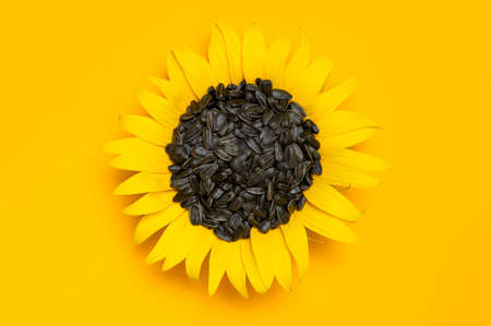 Beautiful fresh sunflower with sunflower seeds inside on yellow background Flat lay top view copy space. Harvest time agriculture farming. Healthy oils, food. Sunflower natural background Flower card