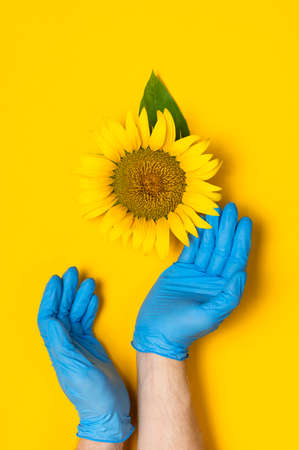 Beautiful fresh sunflower in male hands in disposable medical blue gloves on yellow background Flat lay. Concept of the safety of agricultural products, plants, crops, flowers from insects and pests